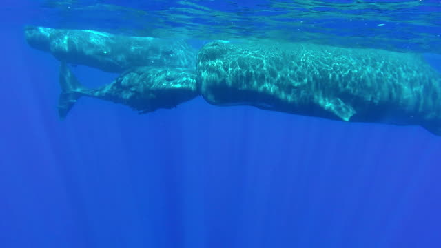 Little sperm whale calf rubs heads with it's mother as they swim with their pod, north western coast of Mauritius.