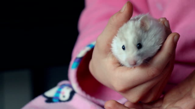 little syrian hamster moving his nose sniffing in a girl's hands - niños stock videos & royalty-free footage