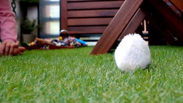 vídeos y material grabado en eventos de stock de little syrian hamster smelling the grass and looking for food on the grass. - hamster