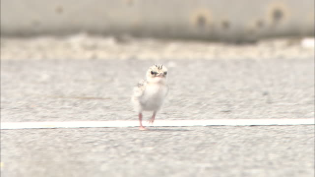 little tern( sterna albifrons) in aichi - fluffy stock videos & royalty-free footage