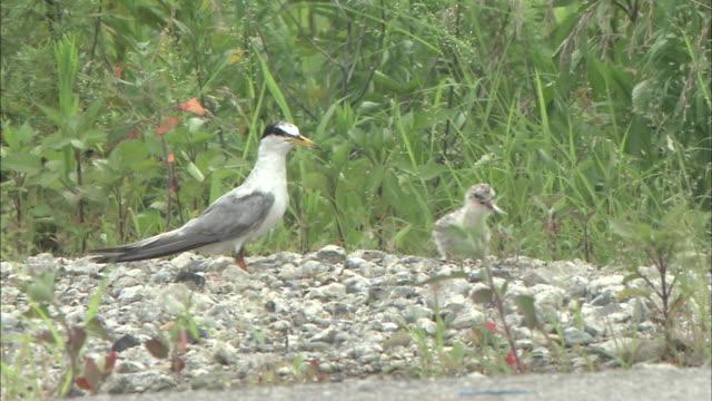 Little tern( Sterna albifrons) In Aichi