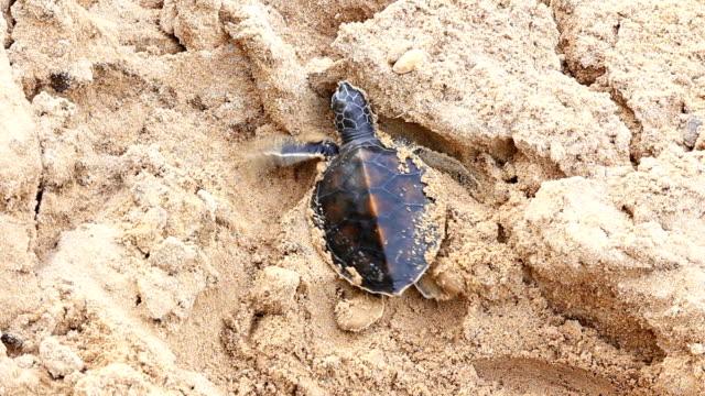 piccole tartarughe clamber sabbia sulla spiaggia - portello video stock e b–roll