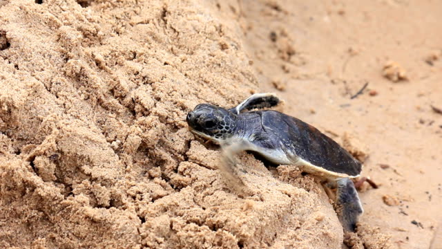 little turtle clamber sand on the beach - releasing stock videos & royalty-free footage