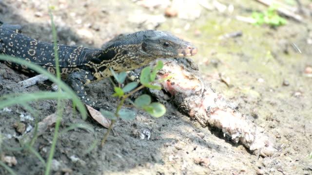 little Varanus salvator eating rotten fish