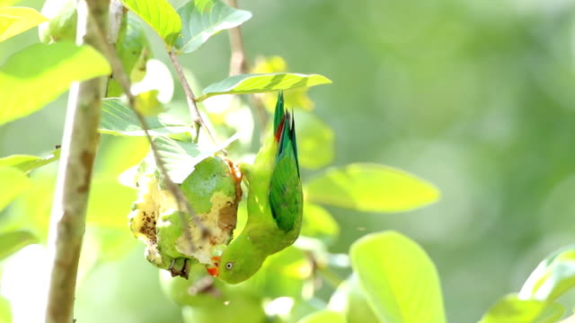 little vernal hanging parrot - parrot stock videos & royalty-free footage