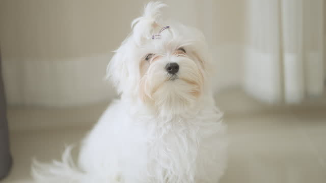 little white maltese puppy looking at camera - lap dog stock videos & royalty-free footage