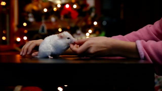 little white syrian hamster eating from the hand of a child with bokeh of christmas lights behind - tame stock videos and b-roll footage