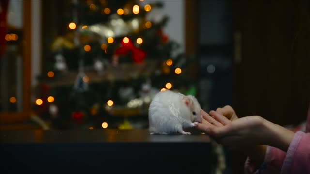 little white syrian hamster eating from the hand of a child with bokeh of christmas lights behind - kettenglied stock-videos und b-roll-filmmaterial