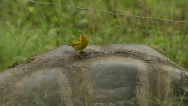 a little yellow bird hops along a tortoise's shell. - tortoise shell stock videos & royalty-free footage