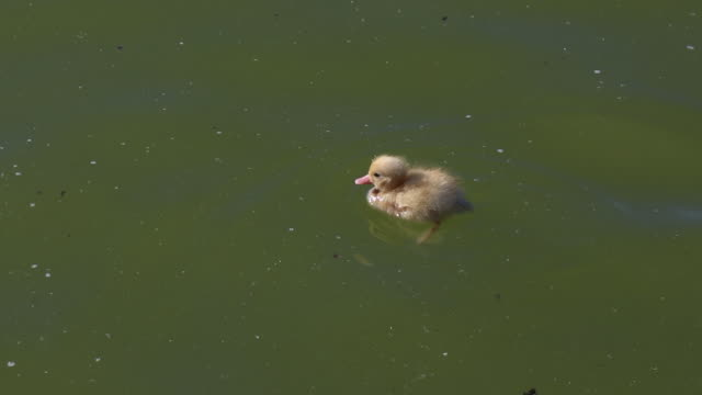 stockvideo's en b-roll-footage met little yellow duck in a pond, the mother of the duck - eend watervogel