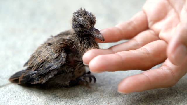 slo mo little young bird with the woman hand, close up. - protection stock videos & royalty-free footage