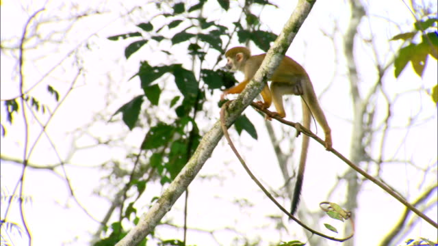 littled monkey jumping trees in amazon rainforest - monkey stock videos & royalty-free footage