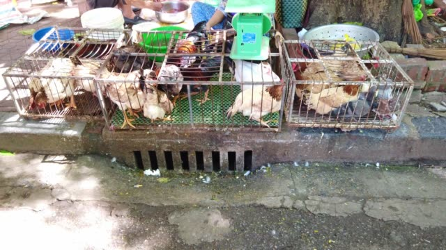live chicken for selling in the market in vietnam - oca uccello d'acqua dolce video stock e b–roll