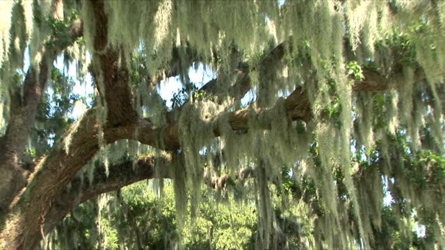 ms zi cu live oak and spanish moss, new orleans, louisiana, usa - louisiana stock videos & royalty-free footage