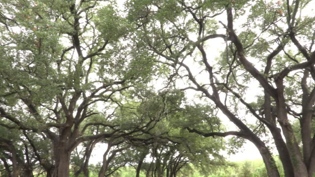 live oak trees - oak tree stock videos & royalty-free footage