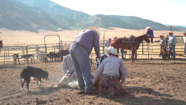 Live stock roping and branding at a rodeo