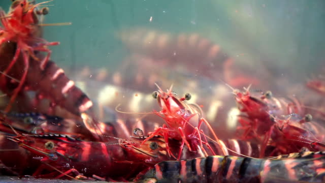 live tiger prawn for cooking in market - lobster stock videos & royalty-free footage