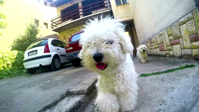 lively bichon frise running in park - bichon frise stock videos and b-roll footage