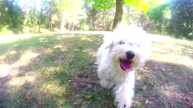 Lively bichon frise running in park