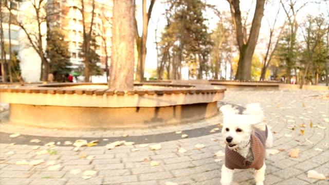 vídeos de stock, filmes e b-roll de animado poodle de brinquedo correndo no outono park - casaco curto com mangas
