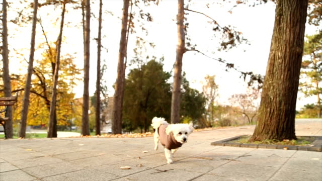 Lively toy poodle running in autumn park