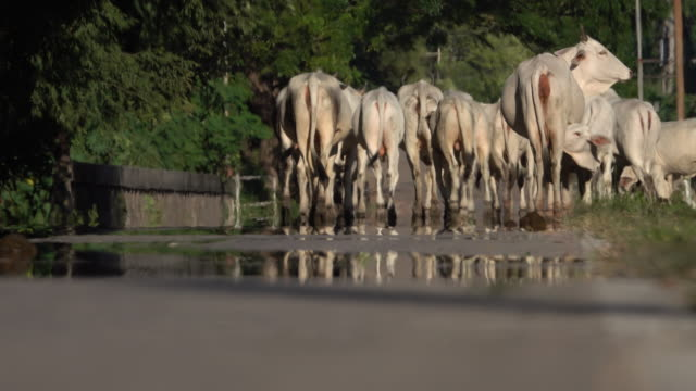 livestock cows - cow stock videos & royalty-free footage