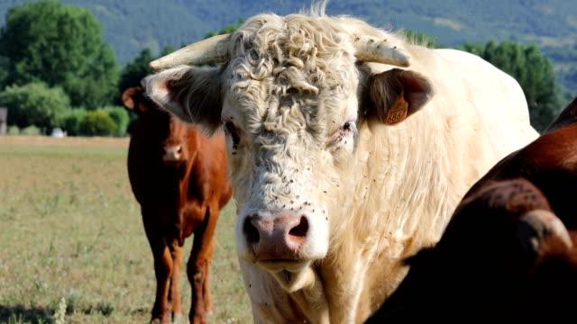 vídeos de stock e filmes b-roll de livestock from pyrenees  - cows and white bull - touro animal macho