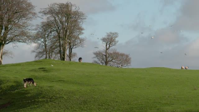 Vieh in einem Feld mit Vögel fliegen herum