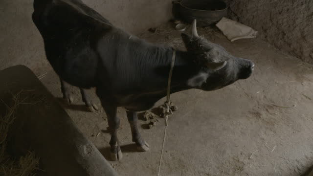 livestock in ethiopia - horn of africa stock videos & royalty-free footage