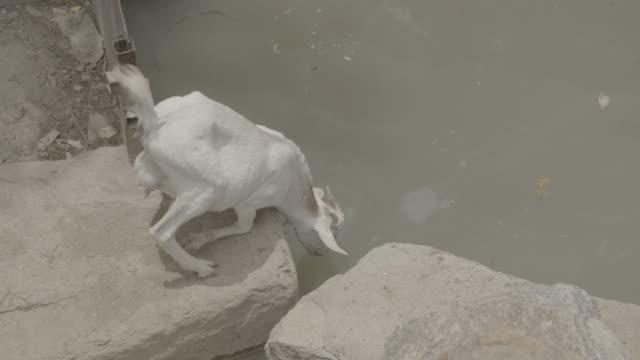 livestock in ethiopia - horn von afrika stock-videos und b-roll-filmmaterial