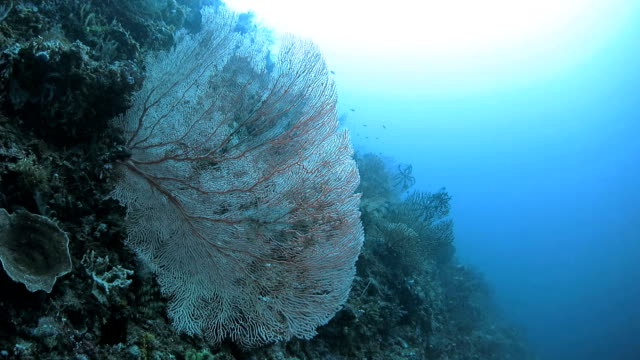 living gorgonian sea fan in coral reef, indonesia - gorgonian coral stock videos & royalty-free footage