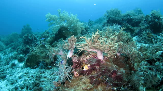living soft coral standing on ocean floor, indonesia - soft coral stock videos & royalty-free footage