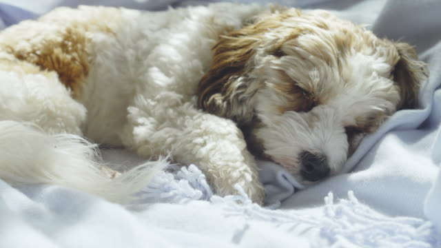 living with pets - a cockapoo miki cross breed silently sleeps on a bed - 横たわる点の映像素材/bロール