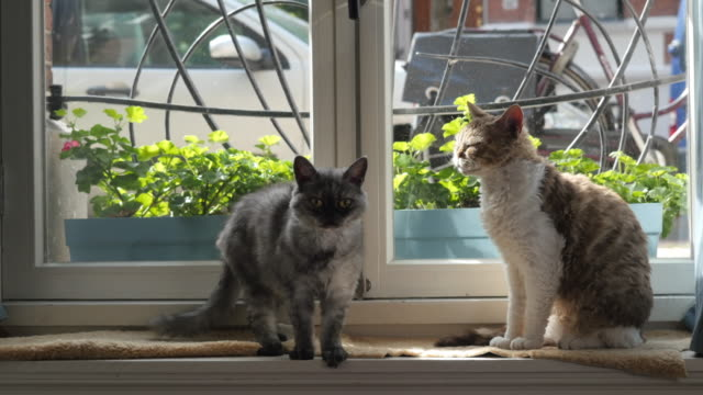 living with pets, cats in the window, wagging tail - two animals stock videos and b-roll footage