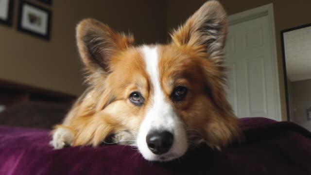 vídeos y material grabado en eventos de stock de living with pets - pembroke