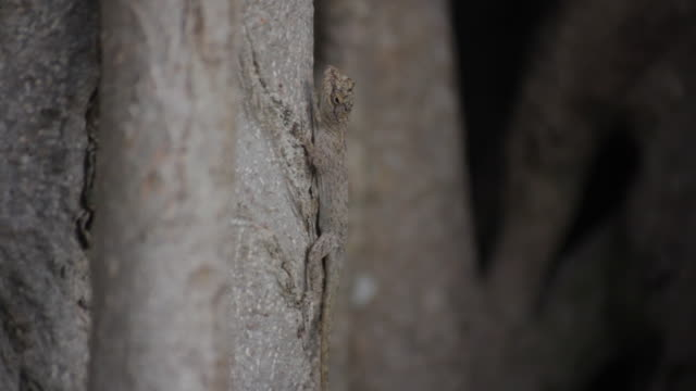 Lizard blends in with tree then runs off