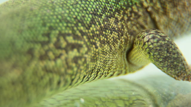 lizard breathing stomach - animal abdomen stock videos and b-roll footage