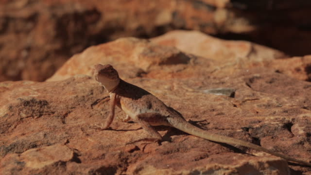 lizard catching a fly, king's canyon, australia - lizard stock videos & royalty-free footage