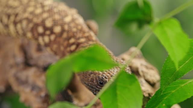 vídeos de stock, filmes e b-roll de lagarto slo mo subindo em um galho - reptile