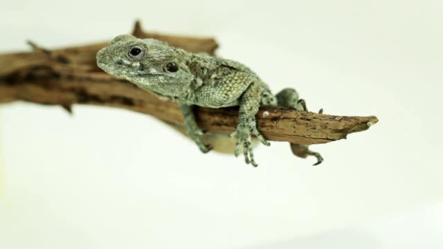 vídeos de stock e filmes b-roll de lagarto clings em um ramo - olhar de lado