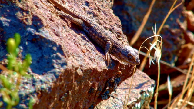 Lizard close macro John Day River Cottonwood Canyon Oregon 39