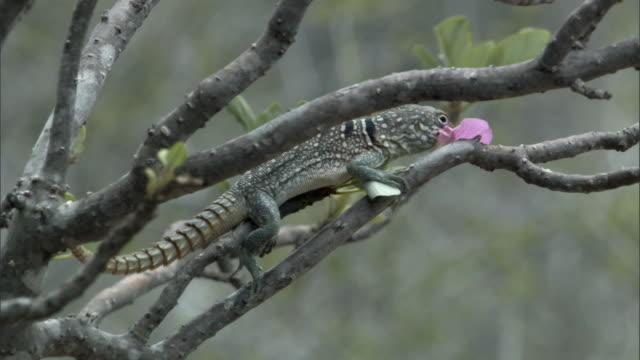 Lizard eats flower from tree, Madagascar