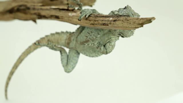 vídeos de stock e filmes b-roll de lagarto pairam sobre árvore ramo possessividade com uma pata com garras - olhar de lado