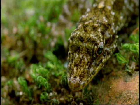 stockvideo's en b-roll-footage met cu lizard head, moves past camera, top shot, western ghats, india - vachtpatroon
