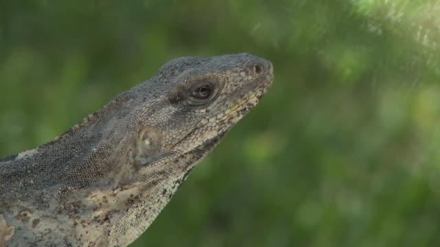 vídeos y material grabado en eventos de stock de cu, lizard, headshot, playa del carmen, quintanaroo, mexico - playa del carmen
