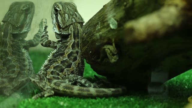 vídeos de stock, filmes e b-roll de lizard in terrarium - reptile