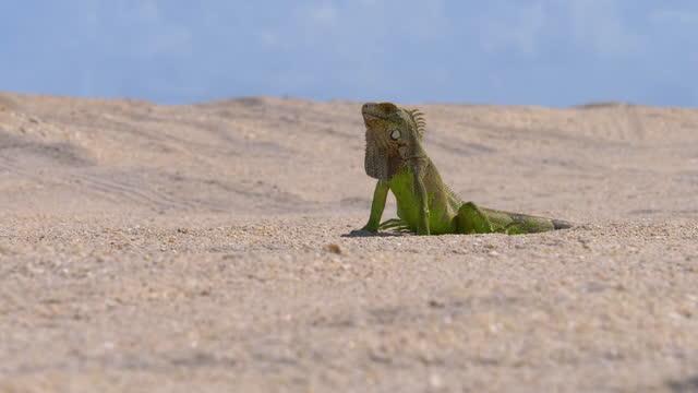 vídeos de stock, filmes e b-roll de lagarto na areia em jericoacoara, fortaleza, ceará, brasil - reptile
