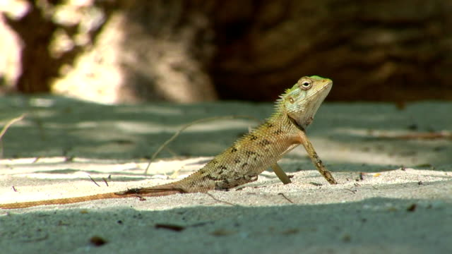 hd: lizard in the sand - shade stock videos and b-roll footage