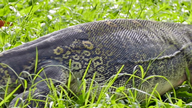 vidéos et rushes de lézard de yala, sri lanka - parc national