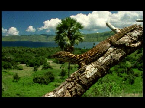 stockvideo's en b-roll-footage met a lizard keeps watch over a green landscape as he lies on a bare tree branch. - bare tree